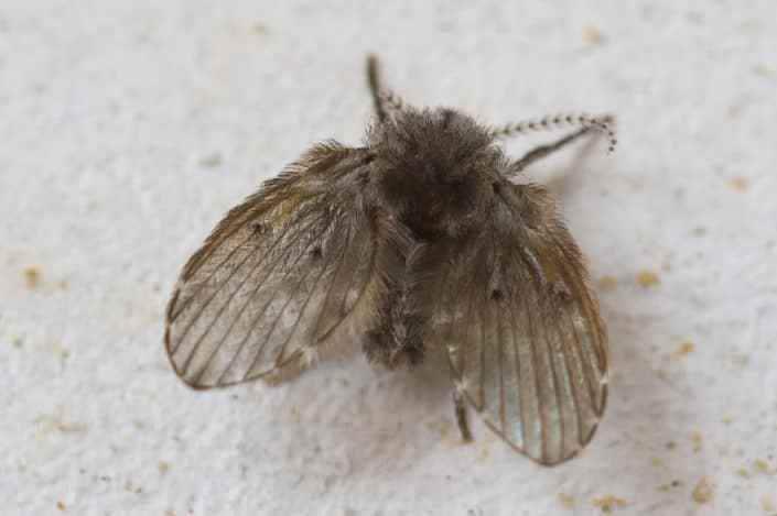 Rioolvliegjes, ook wel Motmuggen genoemd